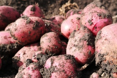 potato-pile